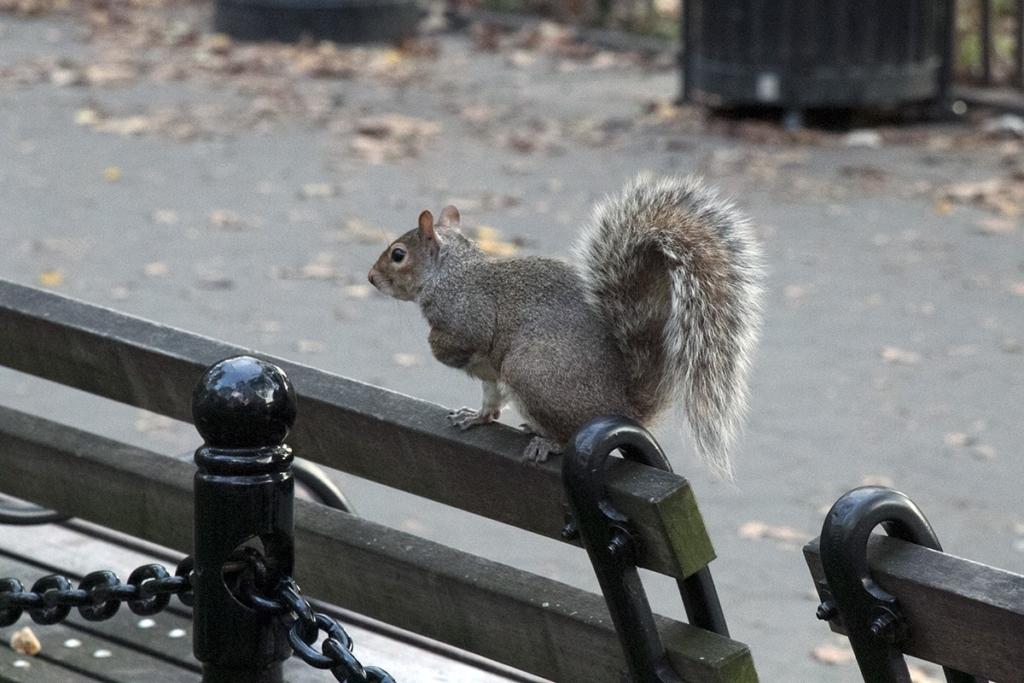 Un écureuil posé sur un banc de Washnigton Square Park