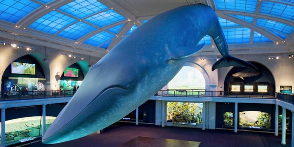 Modèle de baleine bleue du musée d'histoire naturelle de New York.