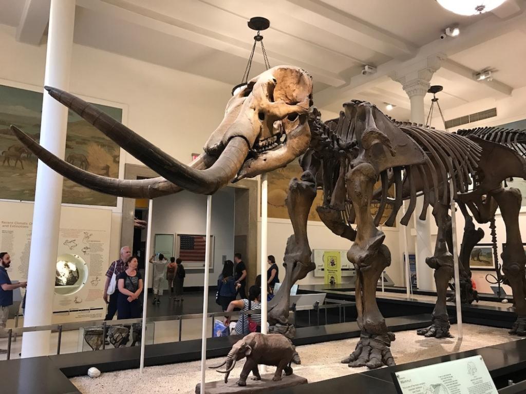Squelette d'un mammouth au musée d'histoire naturelle de New York.