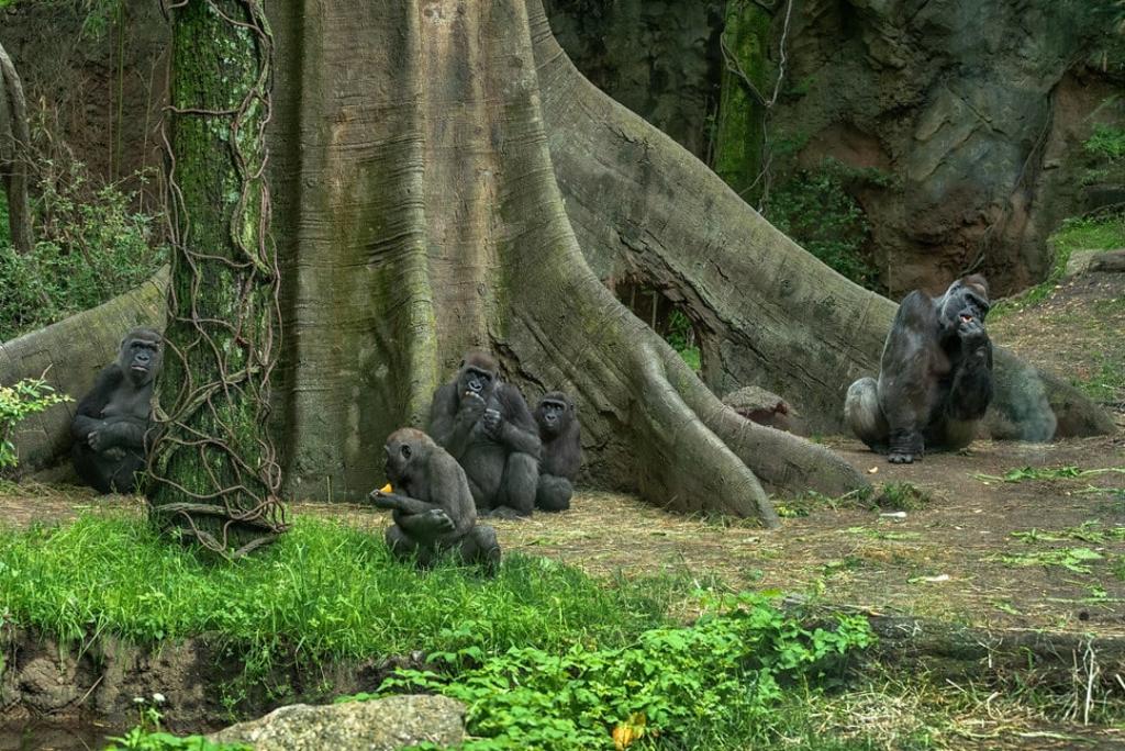 Gorilles du zoo du Bronx à New York