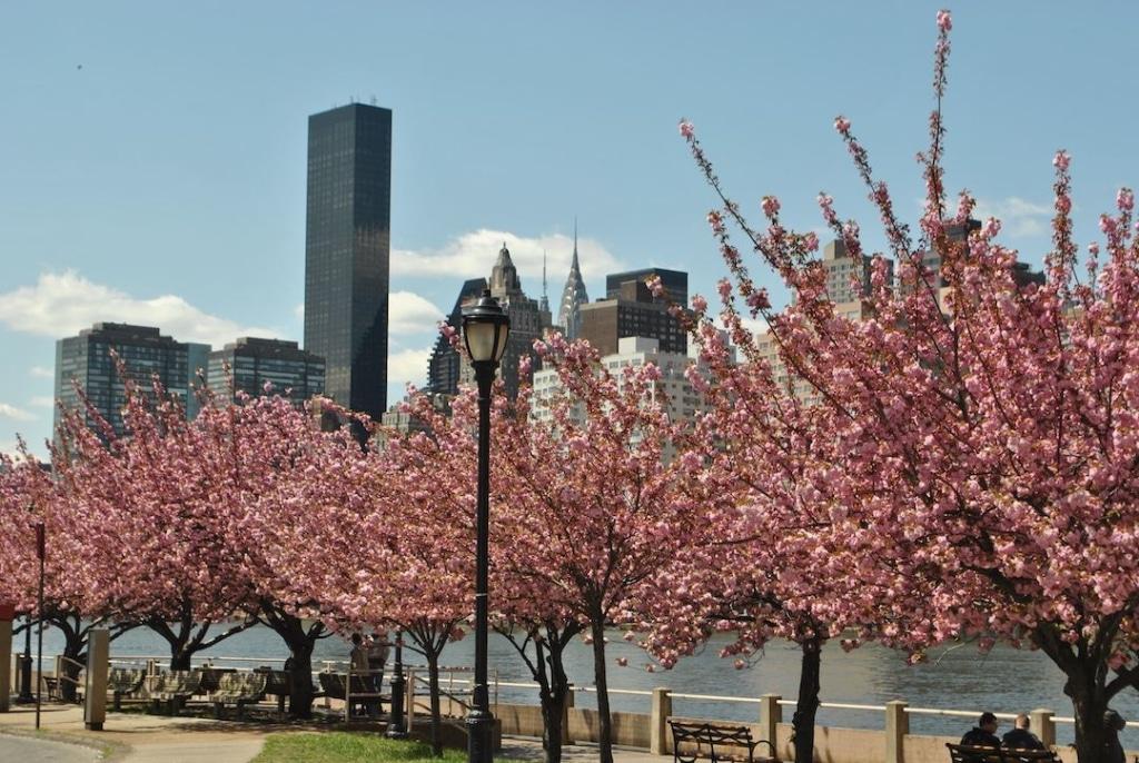 Cerisiers fleuris sur Roosevelt Island à New York