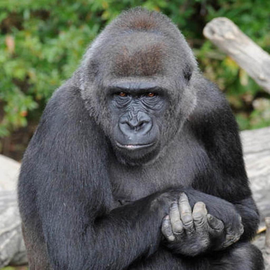 Gorille du zoo du Bronx à New York